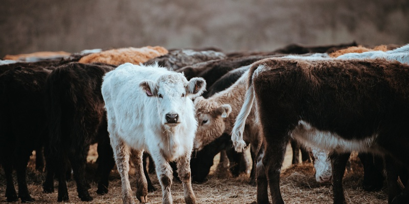 We're vulnerable like livestock, and it matters who owns us. God is our Good Shepherd.