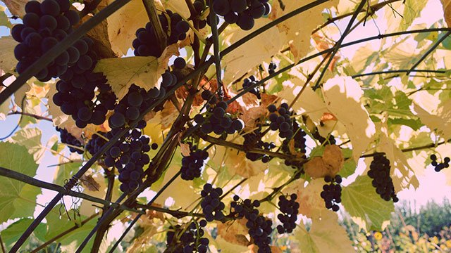grape-vines.jpg